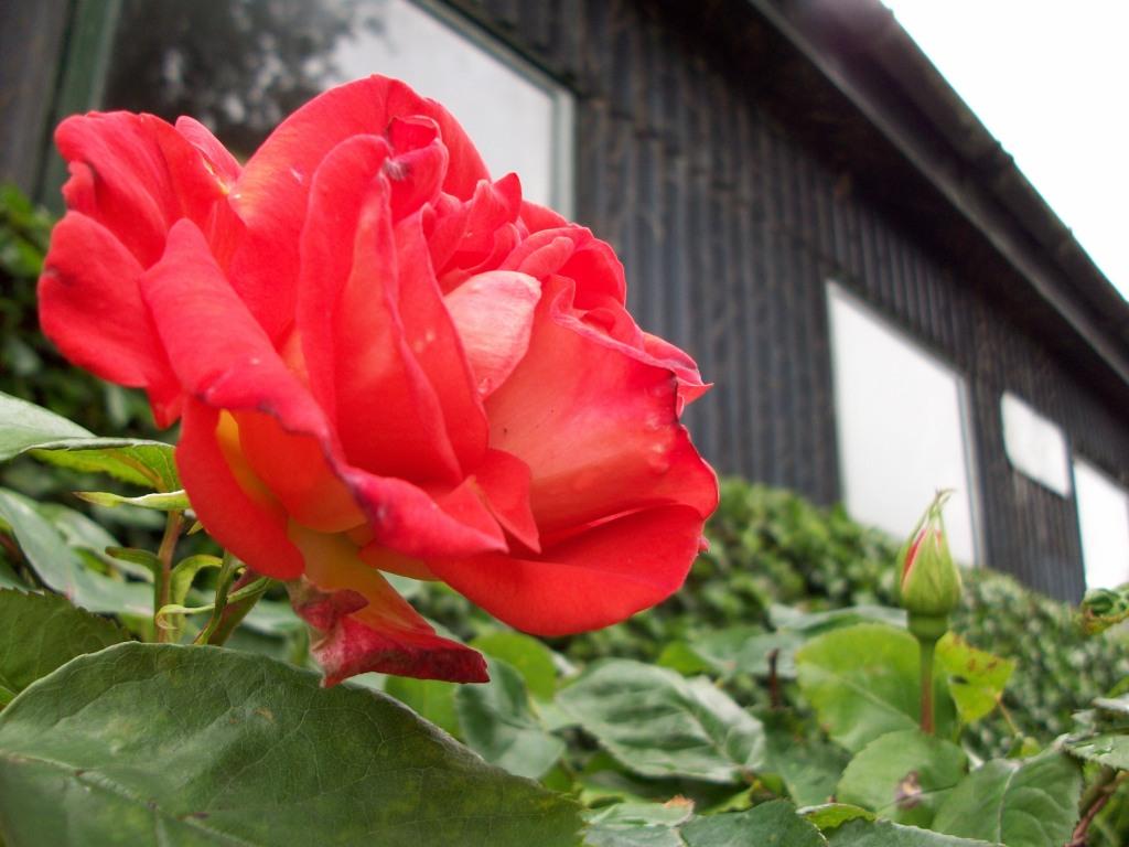Rose in Ireland