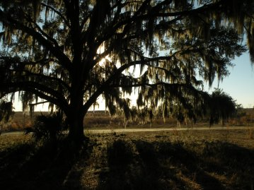 Paynes Prairie Tree