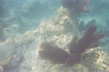 Sea popcorn